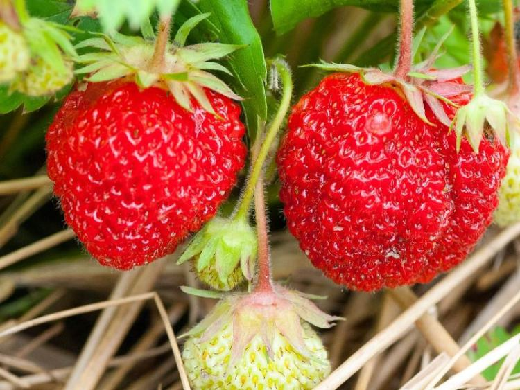 Growing borage will help your strawberry plants