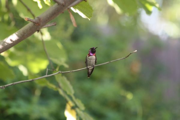 Fred the Hummingbird who frequents our backyard. - Paul