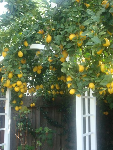 Eureka lemon tree 2009. One of the best crops!