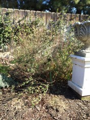 BEFORE: Salvia can be a woody mess if left unpruned. Prune all the way back to 10-12 inches high.
