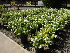 Iceberg roses have continually been the most popular rose for homeowners and landscapers. Nonstop blooms and disease resistant.