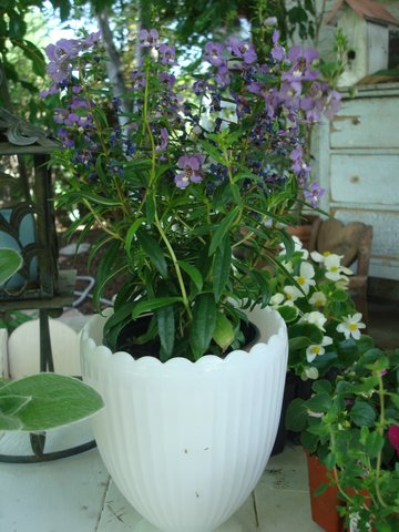Purple Angelonia prettying up a milk glass vase.