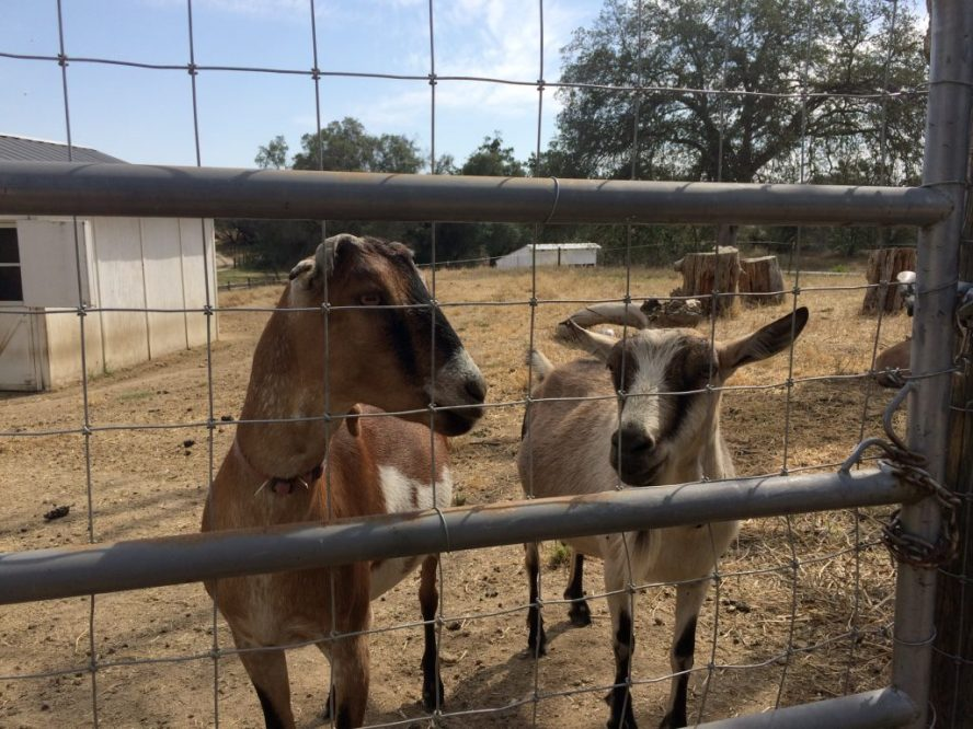 The goats at Basilwood Farm