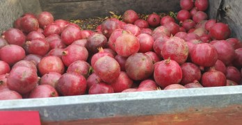 The Madera Pomegranate Festival