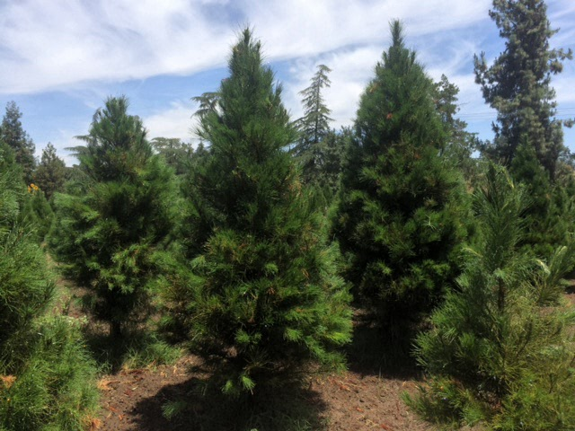 Photo courtesy of Hillcrest Tree Farms-used with permission. - Chopping Down The Christmas Tree - FresYes!