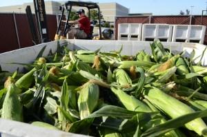 Fresno State Corn Goes on Sale Tomorrow at Gibson Farm Market