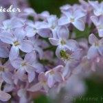 Flieder-Blüten Eiswürfel