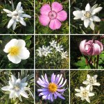 Die Blumen der Rax – Bergblumen – Alpen Flora