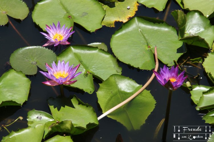 Lotusbluete-09
