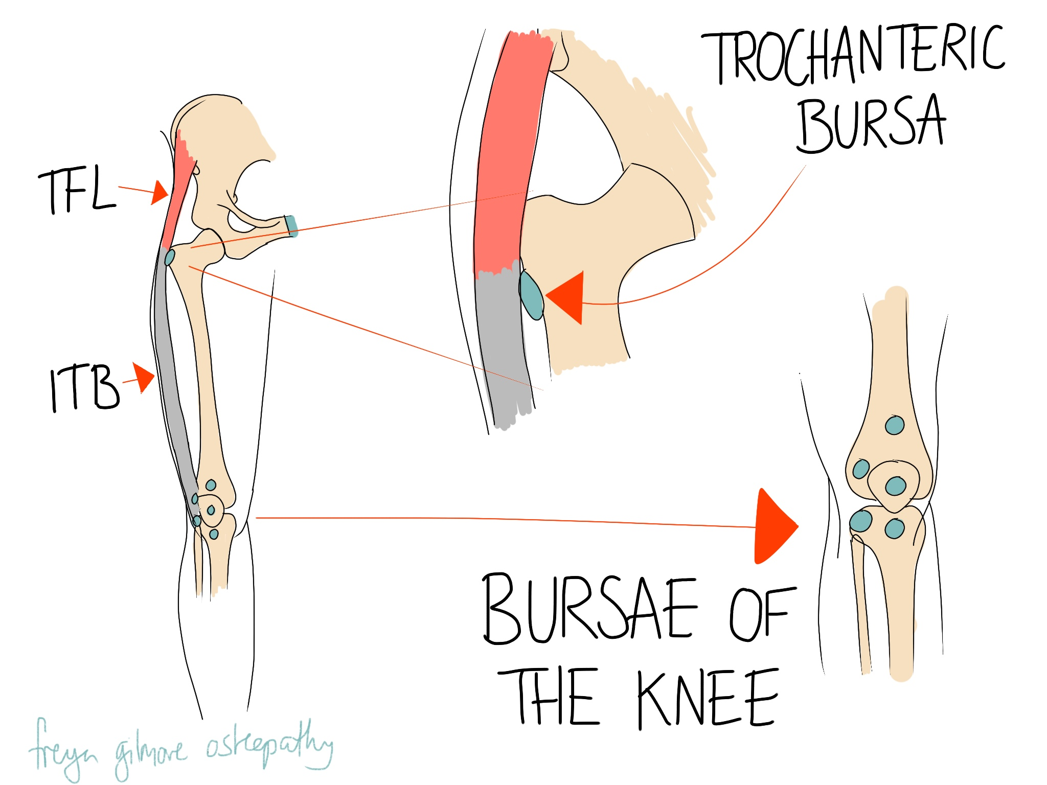 Bursae of the hip and knee