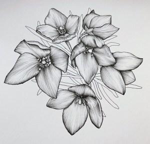 boronia drawing