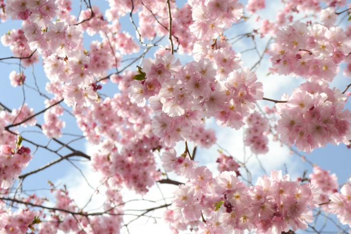 cherry blossoms 2016 (21 of 37)