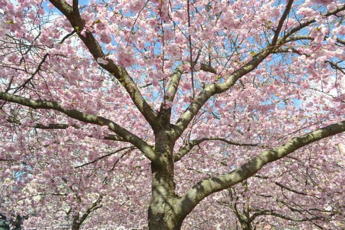 cherry blossoms 2016 (9 of 37)