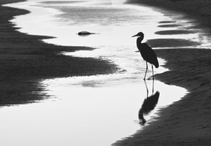 Twilight Heron, (c) David Foster.