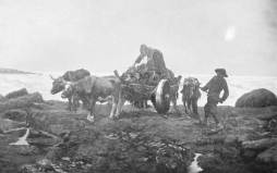 Quakers gathering rockweed in an ox cart.