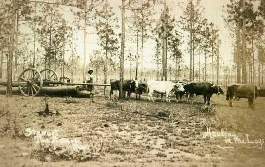 Hauling logs with oxen.