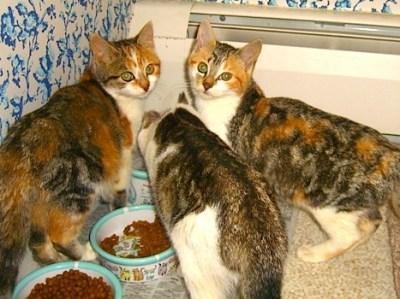 3 Calico Kittens
