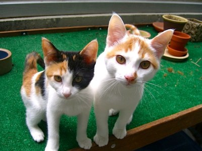 Three Calico Kittens
