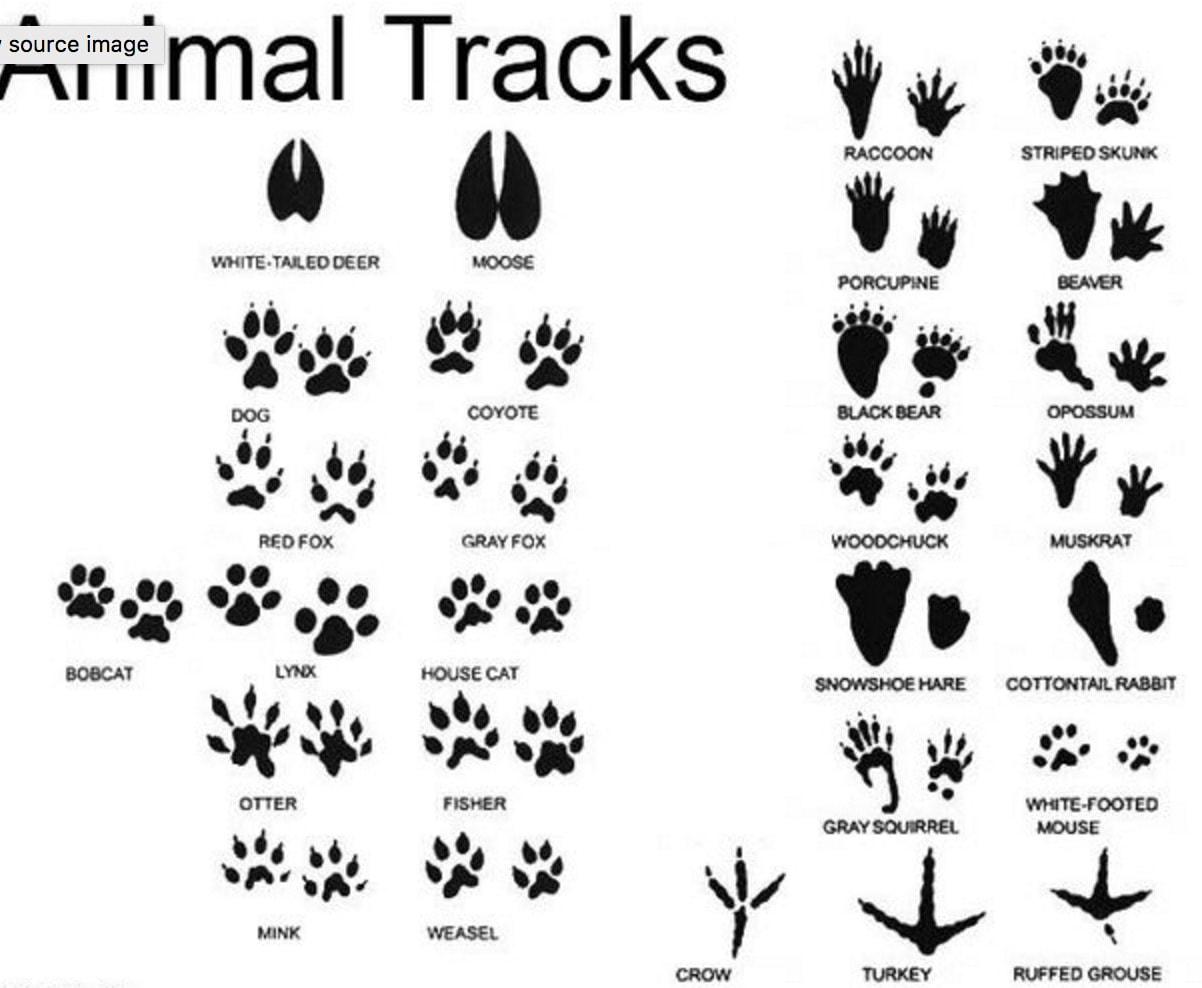 Animal Tracks Non Member
