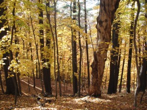 Forest Yellow Fall leaves