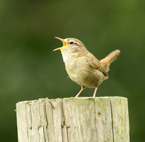 Image result for dawn chorus