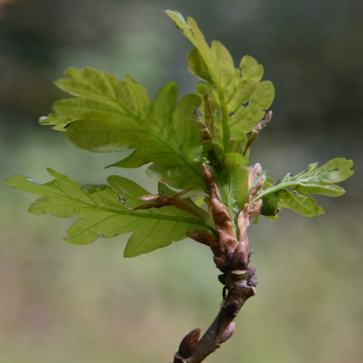 New Oak Leaves