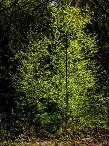 Sunlit Birch