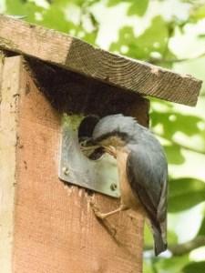 Nuthatch Feeding