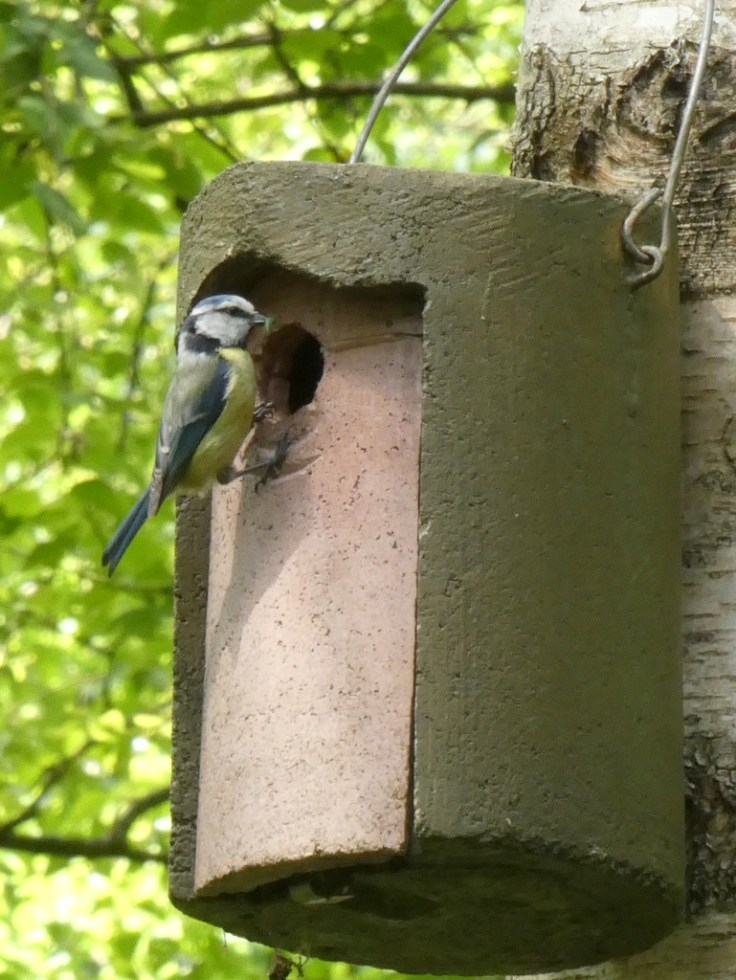 Blue Tit at Nest Box