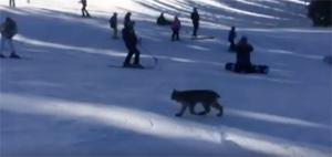 A Canada lynx lumbers across Purgatory Resort Screenshot of video taken byAirrick Hix