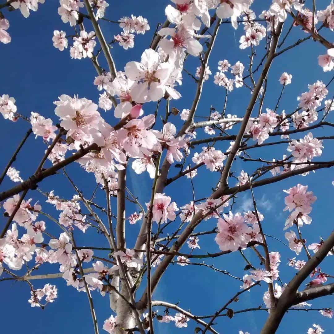 Almond tree in full blossom