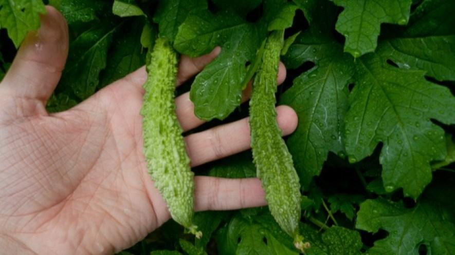 ¡La planta contra el cáncer, la diabetes y la presión arterial!