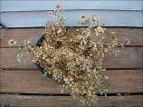 Tote Pflanze (Foto: megan ann/Flickr)