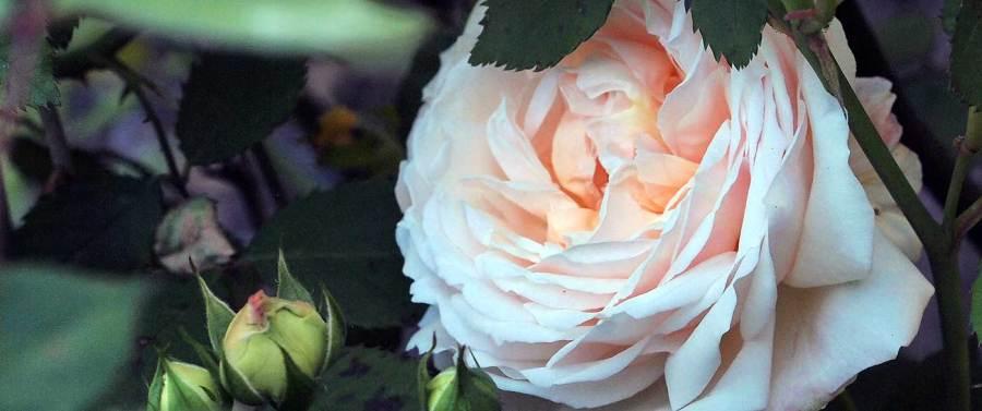 Gruss an Aachen Rose
