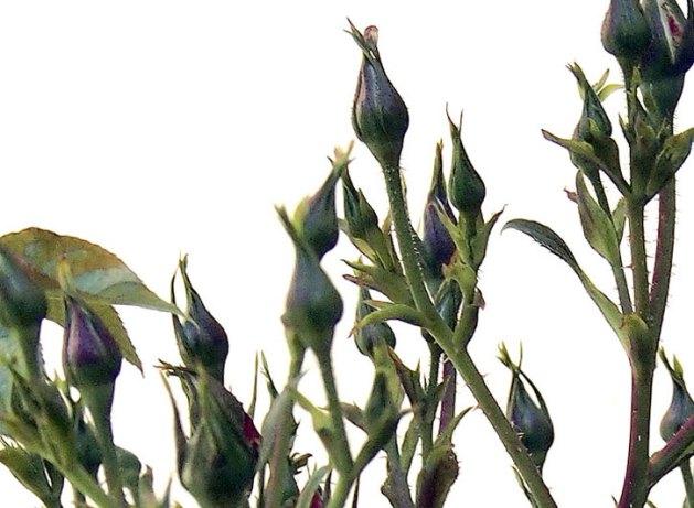 New growth on Citrus Burst Roses.