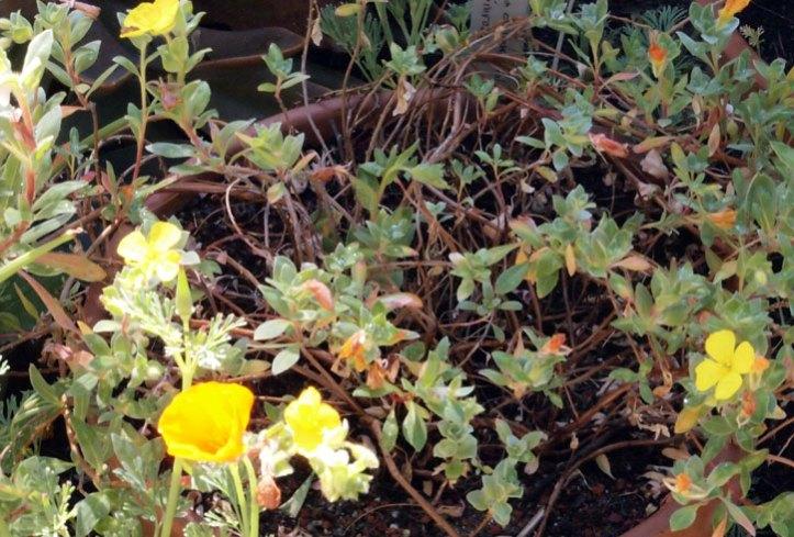Camissoniopsis cheiranthifolia, Beach Primrose