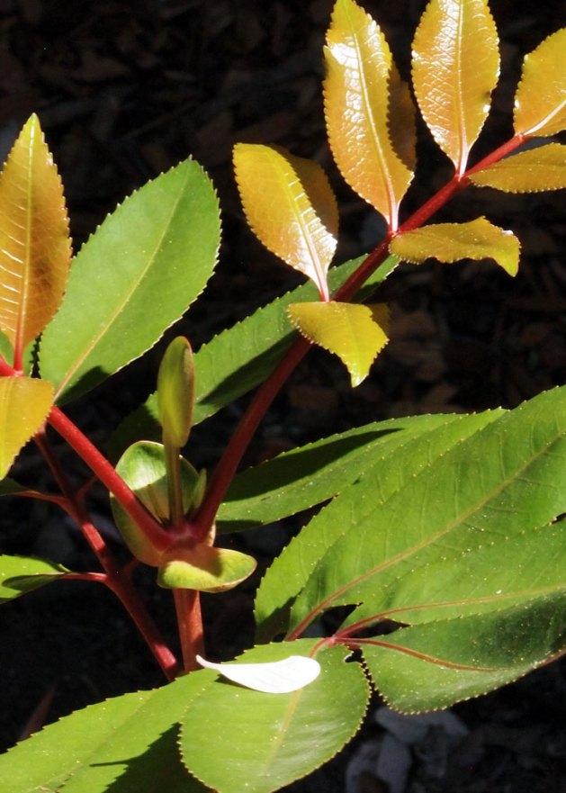 Cunonia capensis, Butterknife Bush