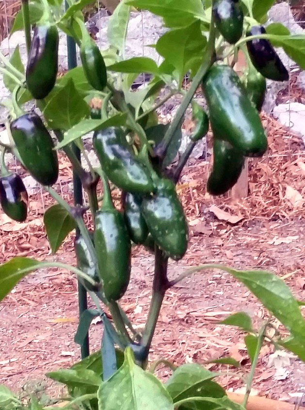Jalapenos peppers at Tom's Garden.