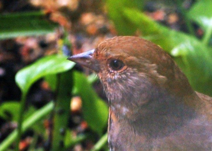Brown-Headed Cowbird.
