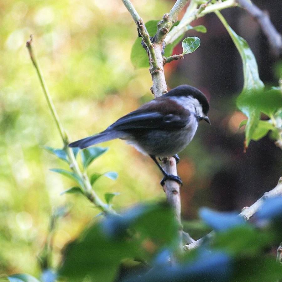 Chestnut-backed Chickadee.