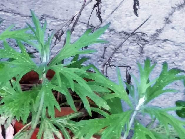Artemisia douglasiana, Mugwort.