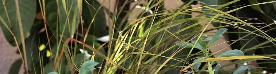 Calendrinia spectabilis, Stipa arundinacea, Iochroma coccinea.