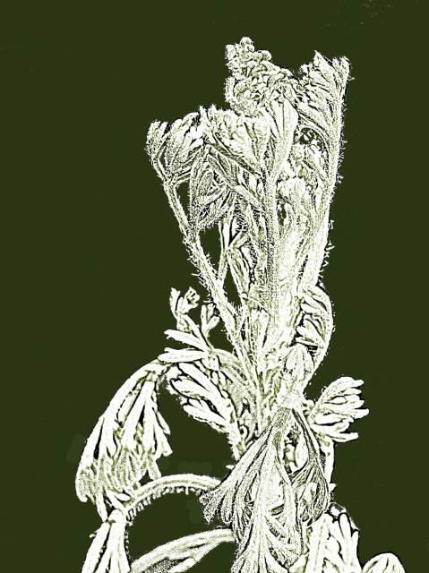 Artemisia pycnocephala, Sandhill Sage