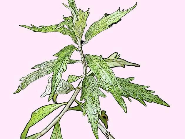 Artemisia douglasiana, Mugwort