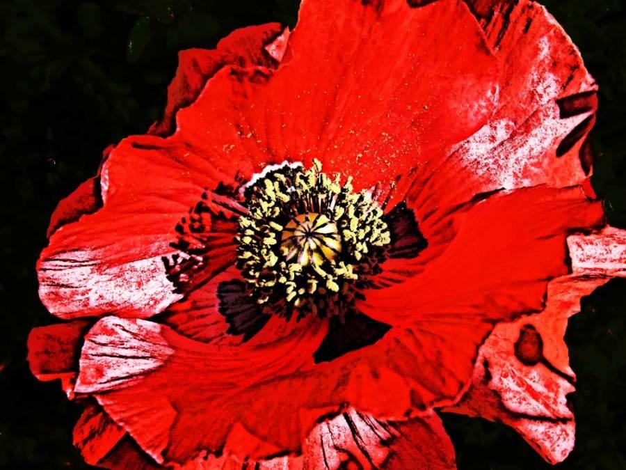 Papaver glaucum, Tulip Poppy