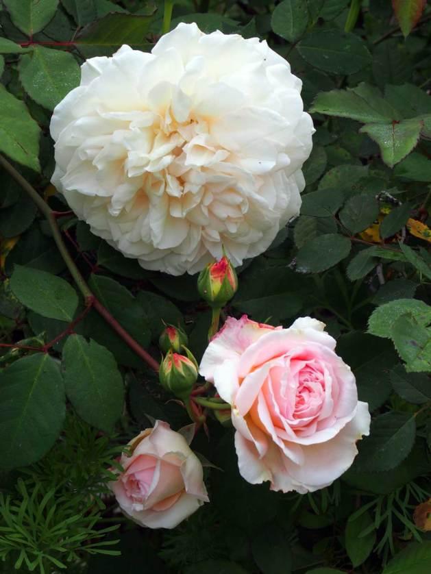Grüss an Aachen Rose