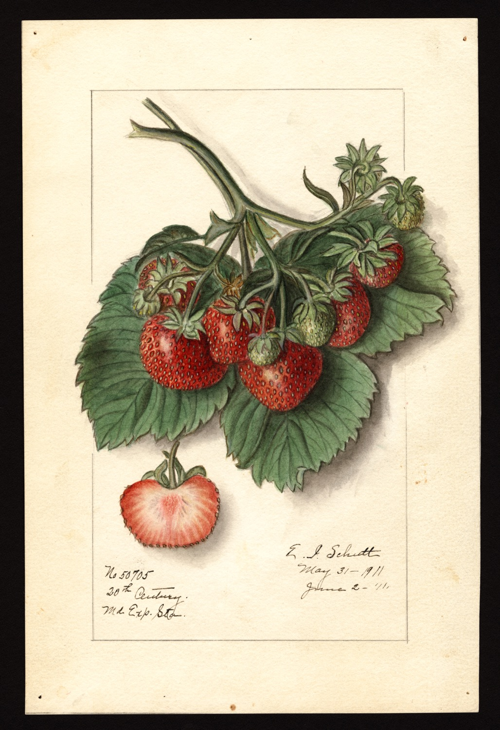 Ellen Isham Schutt, fragola, 1911, (fonte: U.S. Department of Agriculture Pomological Watercolor Collection. Rare and Special Collections, National Agricultural Library, Beltsville, MD 20705)
