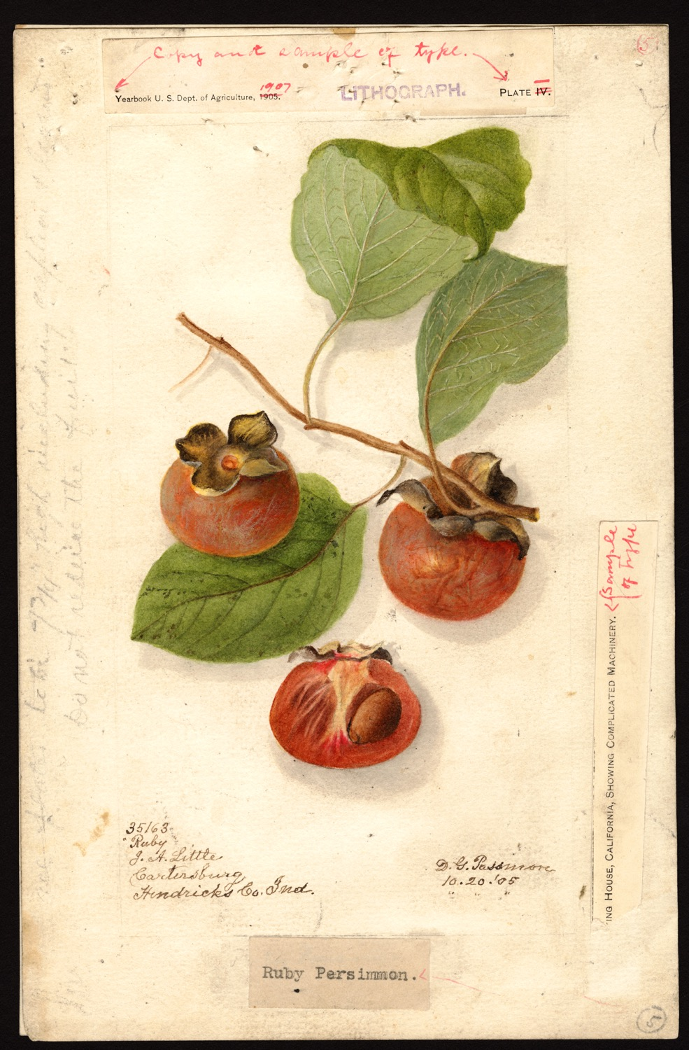 Deborah Griscom Passmore, caco, 1905, (fonte: U.S. Department of Agriculture Pomological Watercolor Collection. Rare and Special Collections, National Agricultural Library, Beltsville, MD 20705)