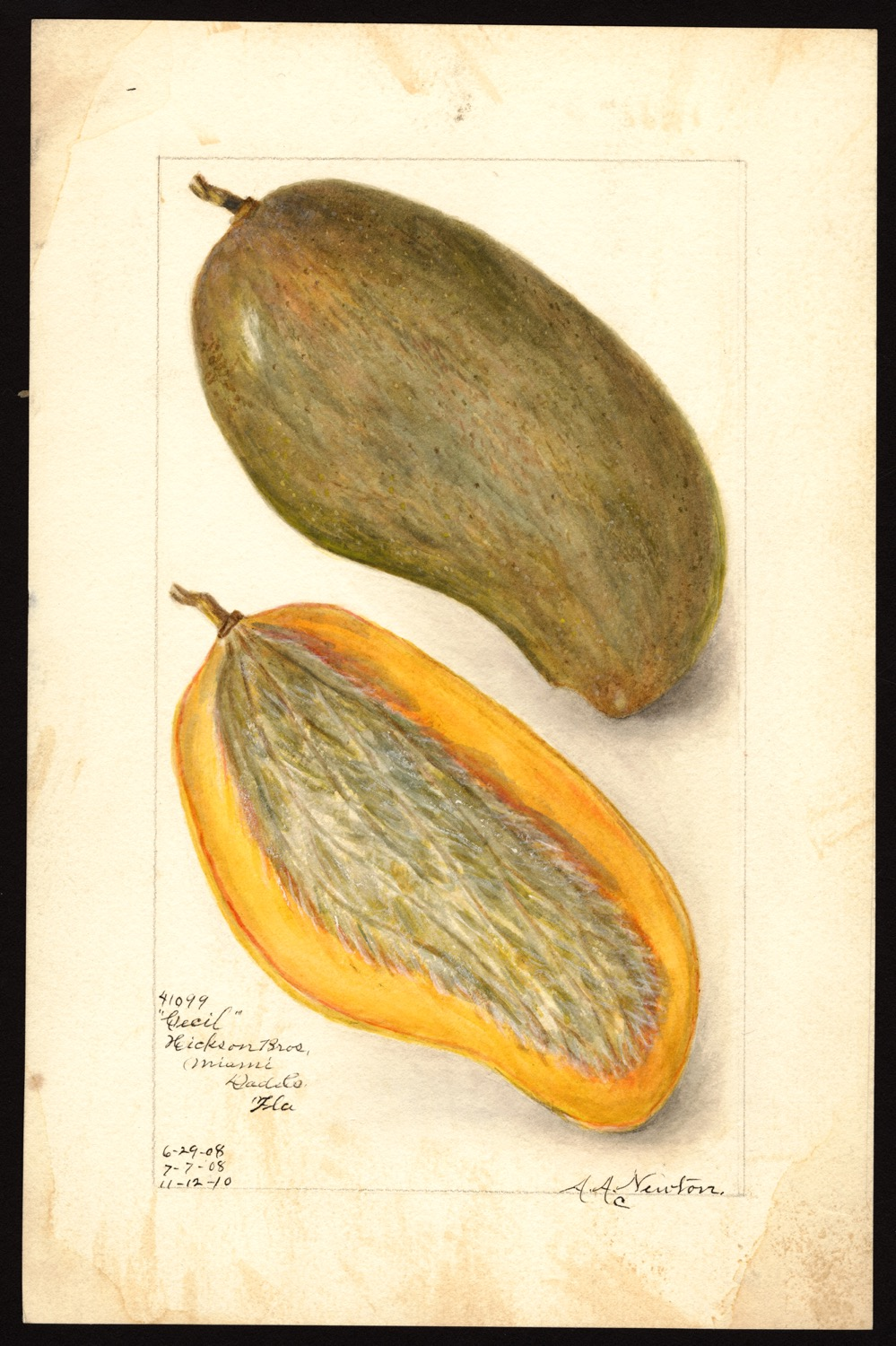 Amanda Almira Newton, mango, 1910, (fonte: U.S. Department of Agriculture Pomological Watercolor Collection. Rare and Special Collections, National Agricultural Library, Beltsville, MD 20705)