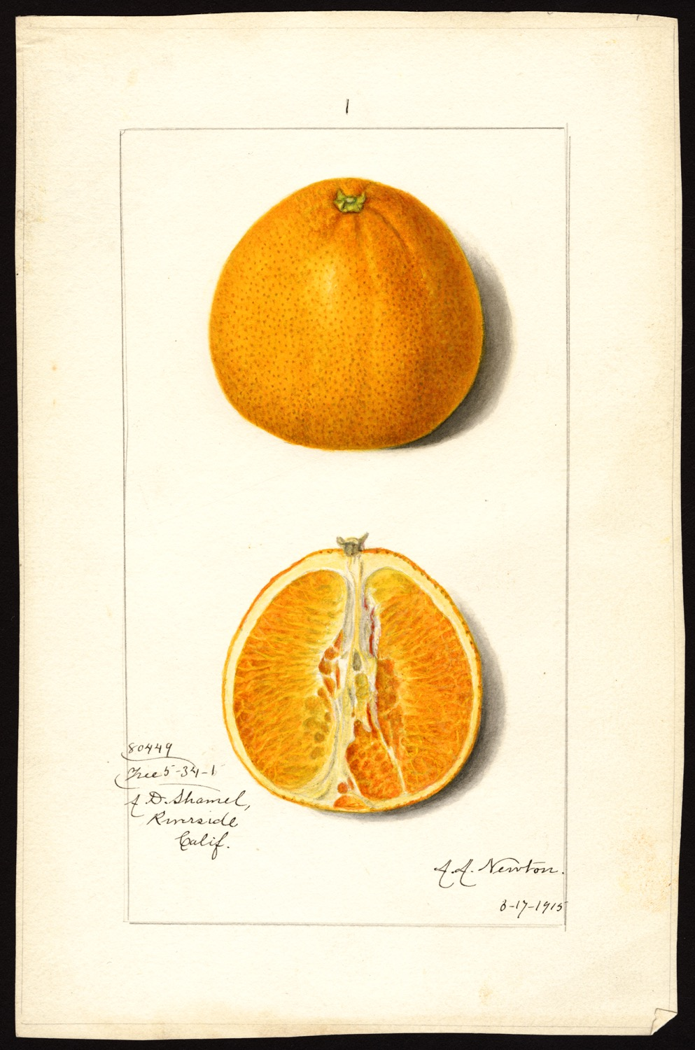 Amanda Almira Newton, arancia, 1915, (fonte: U.S. Department of Agriculture Pomological Watercolor Collection. Rare and Special Collections, National Agricultural Library, Beltsville, MD 20705)